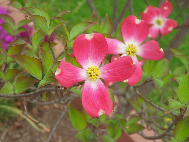 Triple Dogwood